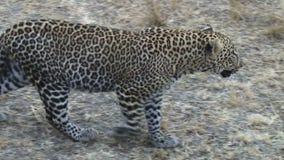 Leopardo que camina en Kenia metrajes