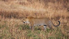 Leopardo que camina en la hierba, Kenia imágenes de archivo libres de regalías