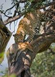 Leopardo que come el impala Imagenes de archivo