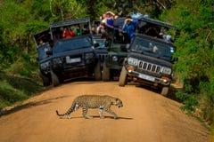 Leopardo que cruza el camino delante de la audiencia Imagen de archivo