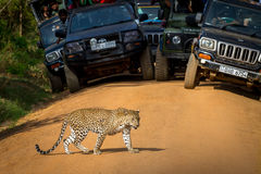 Leopardo que cruza el camino delante de la audiencia Aquí usted puede ver un leopardo - un gran éxito Imágenes de archivo libres de regalías