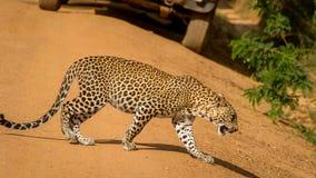 Leopardo que cruza el camino, los coches parados en aquel momento Fotos de archivo libres de regalías