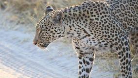 Leopardo que cruza uma estrada de terra fotografia de stock royalty free