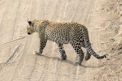 Leopardo que cruza un camino Foto de archivo libre de regalías