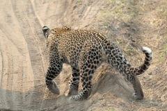Leopardo que cruza un camino Imagen de archivo libre de regalías