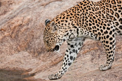 Leopardo que cruza una secuencia en África Fotos de archivo libres de regalías