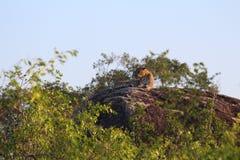 Leopardo que descansa después de la caza imagen de archivo