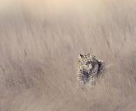 Leopardo que descansa en hierba imagenes de archivo