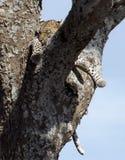 Leopardo que descansa entre os ramos de árvore Fotografia de Stock Royalty Free