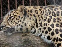 Leopardo que descansa sobre una rama foto de archivo libre de regalías