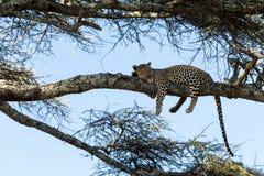 Leopardo que descansa sobre una rama, Serengeti fotografía de archivo libre de regalías
