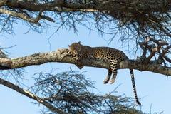Leopardo que descansa sobre una rama, Serengeti foto de archivo