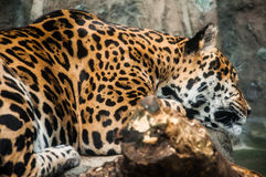 Leopardo que dorme nas rochas Fotografia de Stock Royalty Free