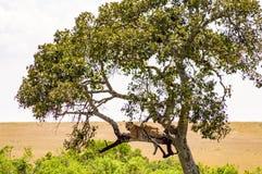 Leopardo que encontra-se em um ramo com suspensão de duas patas imagens de stock royalty free