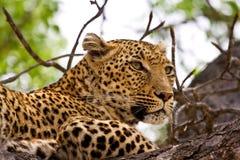 Leopardo que encontra-se na árvore Foto de Stock Royalty Free