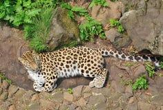 Leopardo que encontra-se na grama imagens de stock