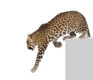 Leopardo que escala na frente de um fundo branco Imagem de Stock