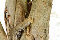 Leopardo que escala para baixo a árvore Fotografia de Stock Royalty Free