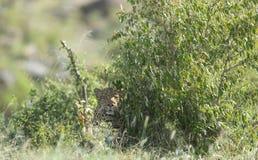 Leopardo que esconde em Bush no Masai Mara Game Reserve, Kenya fotos de stock royalty free