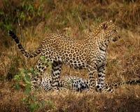 Leopardo que espera Fotografía de archivo