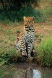 Leopardo que espera en el agujero de riego Imagen de archivo libre de regalías