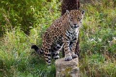 Leopardo que está em uma rocha Fotos de Stock