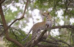 Leopardo que está na árvore Fotografia de Stock Royalty Free