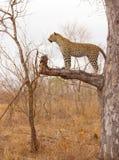 Leopardo que está na árvore Imagens de Stock
