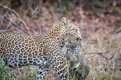 Leopardo que lleva un cachorro fotografía de archivo