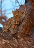 Leopardo que miente en el árbol Imágenes de archivo libres de regalías