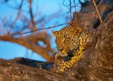 Leopardo que miente en el árbol Foto de archivo