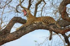 Leopardo que miente en el árbol Imagenes de archivo