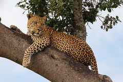 Leopardo que miente en el árbol Foto de archivo libre de regalías