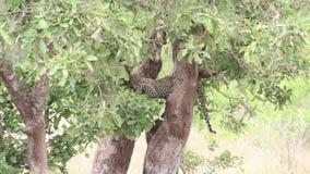 Leopardo que mira fijamente de una rama de árbol en la sabana metrajes