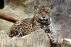 Leopardo que mira fijamente la cámara. Imagen de archivo libre de regalías