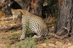 Leopardo que mira para la presa Imagenes de archivo