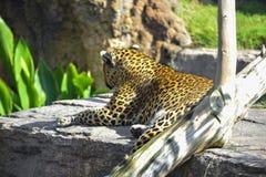 Leopardo que olha de uma rocha imagens de stock