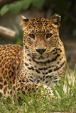 Leopardo que olha o imagens de stock royalty free