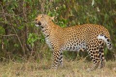 Leopardo que olha para cima imagens de stock