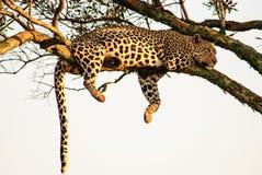Leopardo que oscila de uma árvore em uma pose típica Foto de Stock Royalty Free