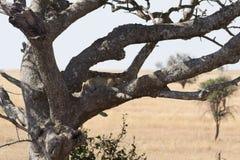 Leopardo que pone en árbol Fotografía de archivo