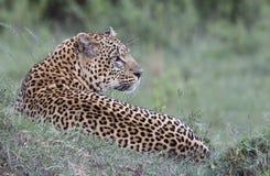 Leopardo que pone en la hierba Imagen de archivo libre de regalías