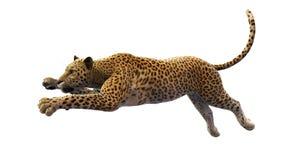 Leopardo que pula, animal selvagem isolado no branco Fotos de Stock Royalty Free
