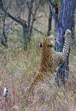 Leopardo que rasguña el tocón de árbol Fotografía de archivo