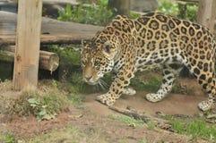 Leopardo que recorre Fotografía de archivo libre de regalías