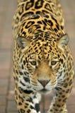 Leopardo que recorre Imagen de archivo