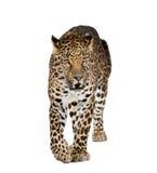 Leopardo que recorre delante de un fondo blanco Fotografía de archivo