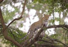 Leopardo que se coloca en el árbol Imagenes de archivo