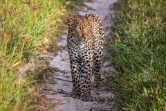 Leopardo que se coloca en la arena en el Kalahari fotografía de archivo libre de regalías