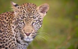 Leopardo que se coloca en la hierba Imagen de archivo libre de regalías